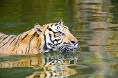 Tigre di nuoto fotografie stock libere da diritti