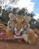 Tigre di ringhio Fotografia Stock Libera da Diritti