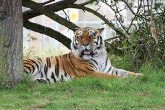 Tigre di riposo Immagini Stock Libere da Diritti