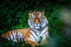 Tigre di riposo dell'Amur Fotografia Stock Libera da Diritti