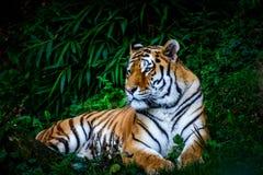 Tigre di riposo dell'Amur fotografia stock