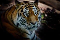 Tigre di riposo dell'Amur Fotografie Stock Libere da Diritti