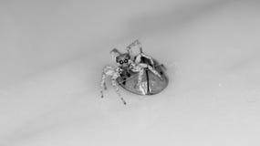 tigre di salto della mosca del ragno Fotografia Stock