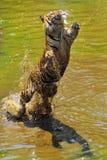 Tigre di salto di Sumatran Immagini Stock