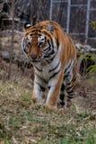 Tigre di siberiano conosciuta altrimenti come la tigre dell'Amur fotografie stock