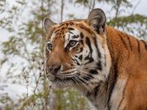 Tigre di siberiano conosciuta altrimenti come la tigre dell'Amur fotografia stock