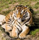 Tigre di sonno Fotografie Stock Libere da Diritti