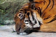 Tigre di sonno Immagini Stock