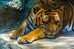 Tigre di sonno Fotografia Stock