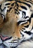 Tigre di sonno Immagine Stock
