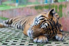 Tigre di sonno nel MAI di Tiger Temple Thailand North Chang immagine stock libera da diritti
