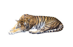 Tigre di sonno su bianco immagine stock