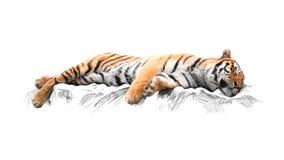 Tigre di sonno, su fondo bianco Fotografie Stock Libere da Diritti