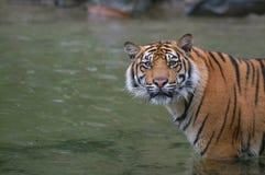 Tigre di Sumatran Fotografie Stock Libere da Diritti