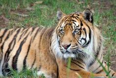 Tigre di Sumatran Immagine Stock Libera da Diritti
