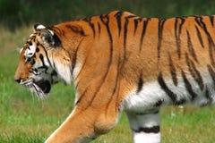 Tigre di Sumatran Immagine Stock