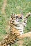 Tigre di Sumatran Fotografie Stock