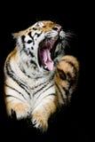 Tigre di Sumatran che rugge Immagini Stock Libere da Diritti