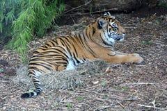 Tigre di Sumatran che si riposa sul corpo completo al suolo immagini stock libere da diritti