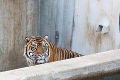 Tigre di Sumatran nella rabbia fotografia stock