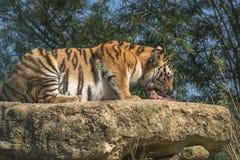 Tigre di Sumatran (sumatrae del Tigri della panthera) Fotografie Stock