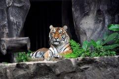 Tigre di Syberian nel giardino zoologico Immagini Stock Libere da Diritti