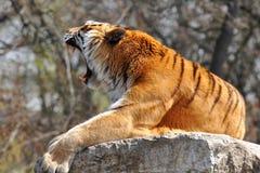 Tigre di urlo fotografie stock libere da diritti