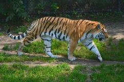 Tigre di viaggio dell'Amur Fotografia Stock