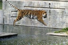 Tigre di volo Fotografie Stock