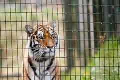 Tigre dietro le barre Fotografia Stock Libera da Diritti