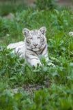 Tigre do branco do bebê Foto de Stock