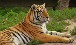 Tigre do nordeste de China no parque do tigre de Harbin, China Fotos de Stock Royalty Free