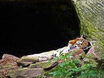 Tigre do sono Fotos de Stock Royalty Free