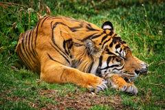 Tigre do sono Imagens de Stock Royalty Free