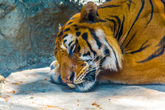 Tigre do sono Imagem de Stock Royalty Free