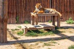 Tigre do sono e fundo de madeira fotos de stock