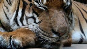 Tigre do sono - jacksoni de tigris do Panthera vídeos de arquivo
