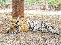 Tigre doméstico de Bengala (raya negra) Foto de archivo
