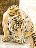 Tigre doméstico de Bengala (raya negra) Fotografía de archivo