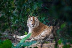 Tigre dorata immagini stock libere da diritti