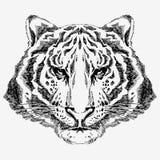 Tigre drenado mano Imagenes de archivo