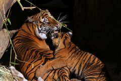 Tigre e Cub della madre Fotografie Stock Libere da Diritti