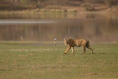 Tigre e um lago Fotos de Stock Royalty Free