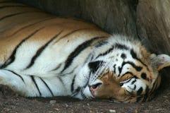 Tigre el dormir Fotos de archivo