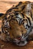 Tigre el dormir Imagenes de archivo