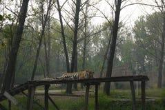 Tigre el dormir Fotografía de archivo