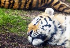 Tigre el dormir en la tierra Fotografía de archivo libre de regalías