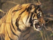 Tigre el gruñir Foto de archivo