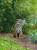 Tigre em um fundo da vegetação verde fotos de stock