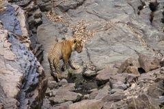 Tigre em um waterhole foto de stock